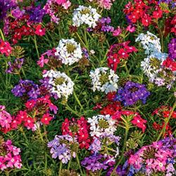 Verbena tenuisecta 'Desert Jewels Mix'
