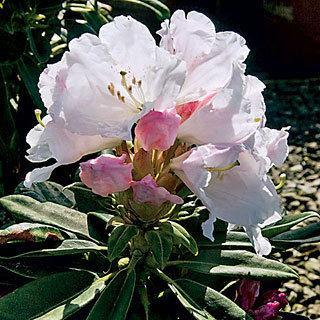 Southgate™ Divine Rhododendron Shrub