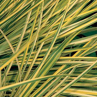 Ogon Sweet Flag Plant