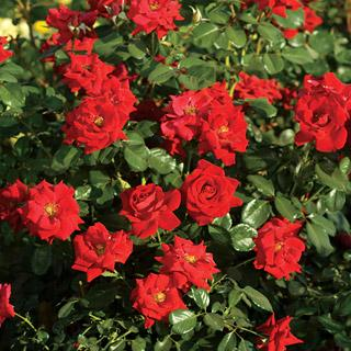 Latest Flame Red Hedge Rose