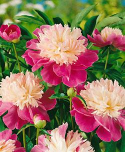 Gay Paree Peony - 1 root division