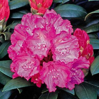 Hellikki Rhododendron Shrub