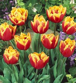 SOLD OUT Double Focus Double Late Tulip - 10 bulbs