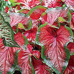 Strap Leaf Caladium Red Frills