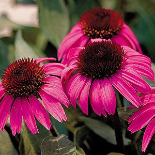 After Midnight™ Echinacea Coneflower Plant