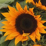 Zohar F-1 Sunflower