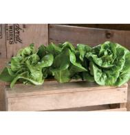 Bambi (Pelleted) Bibb Lettuce