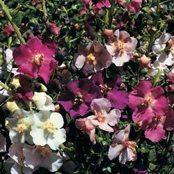 Verbascum phoeniceum hybrids