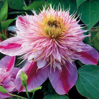 Empress™ Clematis Virgin's Bower Plant