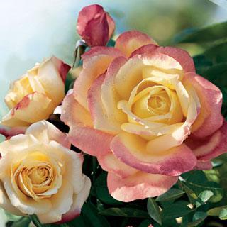 Bella'roma 24-inch Patio Tree Rose