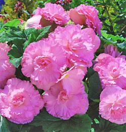 Pink Ruffled Begonia - 3 tubers