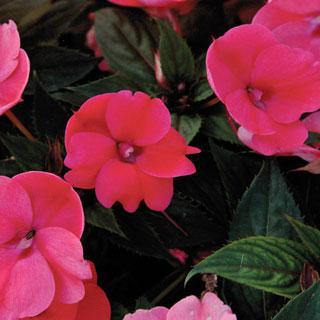 Impatiens SunPatiens® Compact Deep Rose PPAF