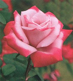 Paradise Hybrid Tea Rose - 1 bare root plant