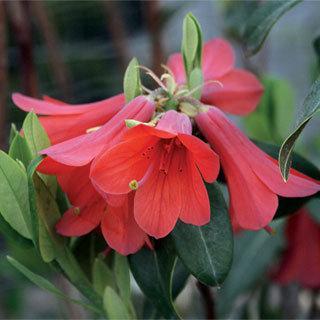 Rhododendron cinnabarinum Shrub