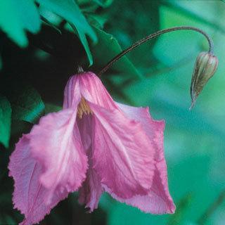 Alionushka Clematis Virgin's Bower Plant