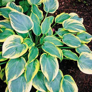First Frost Hosta Plant
