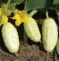 Miniature White Cucumber