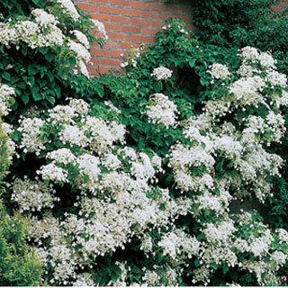 Hydrangea anomala spp. Petiolaris Shrub