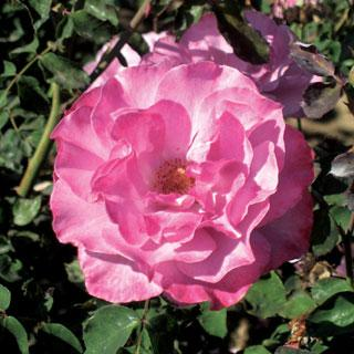Angel Face Mauve-lavender Floribunda Rose