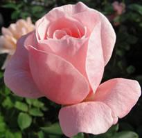 Queen Elizabeth Climbing Rose - 1 bare root plant