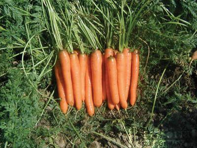 Yaya Carrots