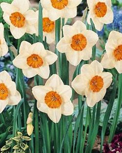 SOLD OUT Kiss Proof Large Cup Daffodil - 10 bulbs
