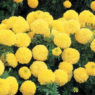 Marigold Inca II Primrose Hybrid