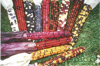 Painted Mountain Corn Organic