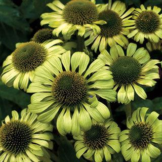 Green Jewel Echinacea purpurea Coneflower Plant
