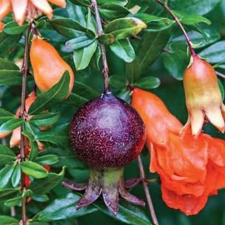 Purple Sunset™ Pomegranate