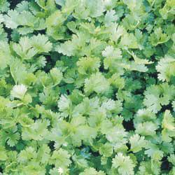 Coriander/Cilantro Herbs
