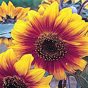 Gloriosa Polyheaded Sunflower