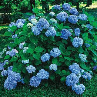 Nikko Blue Hydrangea macrophylla Shrub