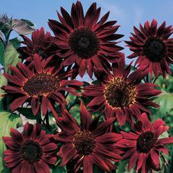 Sunflower annuus 'Claret' F1 Hybrid