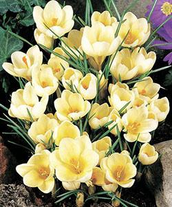 SOLD OUT Cream Beauty Species Crocus - 10 bulbs