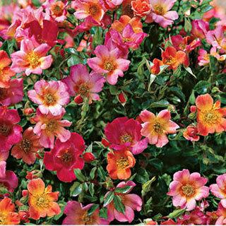 Happy Chappy Apricot-Pink Groundcover Rose