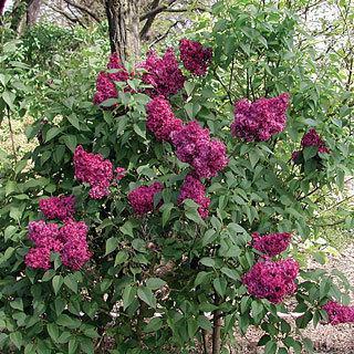 Sweetheart Syringa Hyacinthiflora Lilac Shrub Reviews