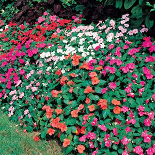Impatiens Shady Lady Hybrid Mix
