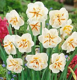 SOLD OUT Broadway Star Split Cup Daffodil - 10 bulbs