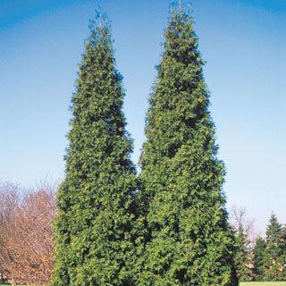 Spring Grove® Thuja Arborvitae Tree