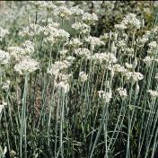 Garlic Chives- Pack of 200