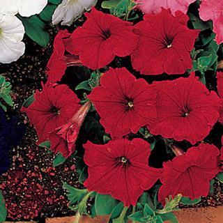 Petunia Celebrity Red