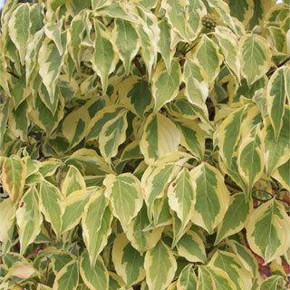 Summer Gold Cornus kousa Dogwood Tree