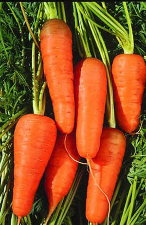 Carrot, Chantenay, organic