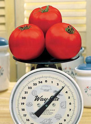 Tomato Beefy Boy Hybrid