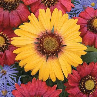 Ring of Fire Blanket Flower Plant