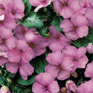 Impatiens Sunny Lady Lilac  Shimmer Hybrid