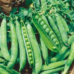 Green Arrow Garden Peas
