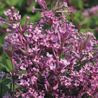 Bloomerang™ Lilac Shrub