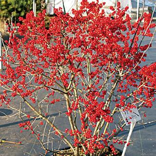 Berry Poppins™ Ilex verticillata Winterberry Holly Shrub